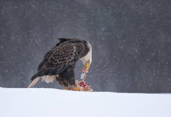 Bald eagle by fredlemire - Wildlife Photo Contest 2017