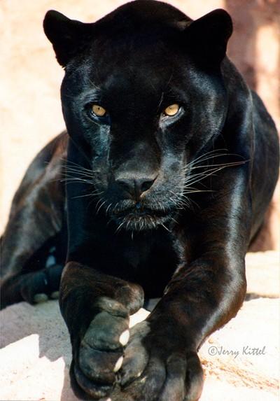 INCA-Black Jaguar