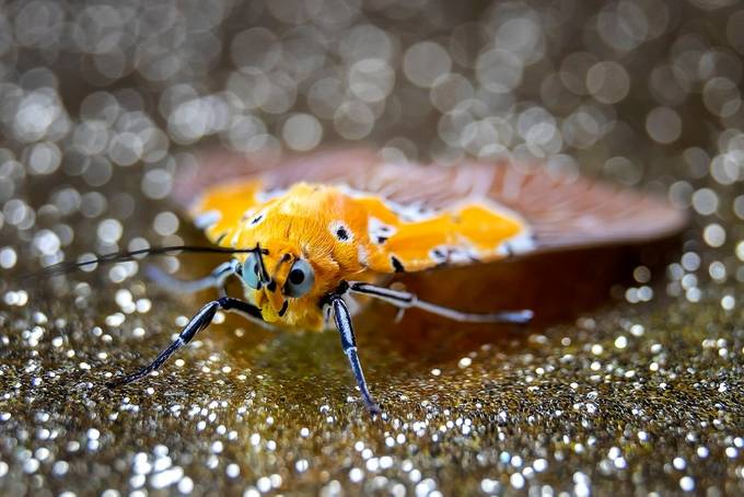 Tiger Moth sparkels  by leonhugo - Close Up Art Photo Contest