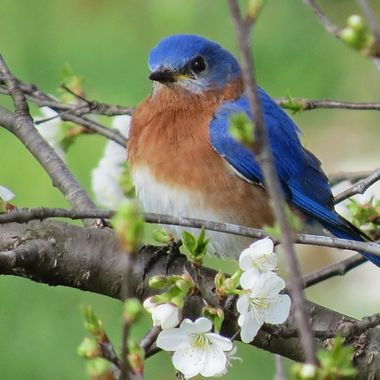 Blue bird and bloom