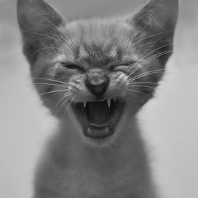 Cat, Yawn, Mustache, Black and white, Tender