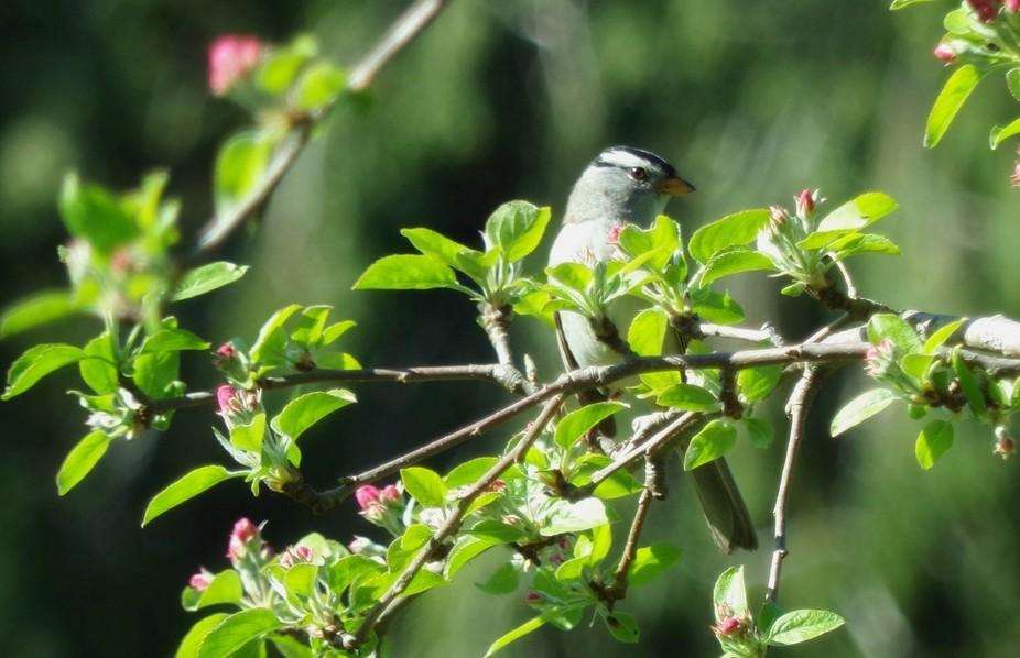 A little bird enjoying the sun alongside the apple blossoms.