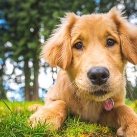 Golden Retriever puppy being silly and playing in the grass!