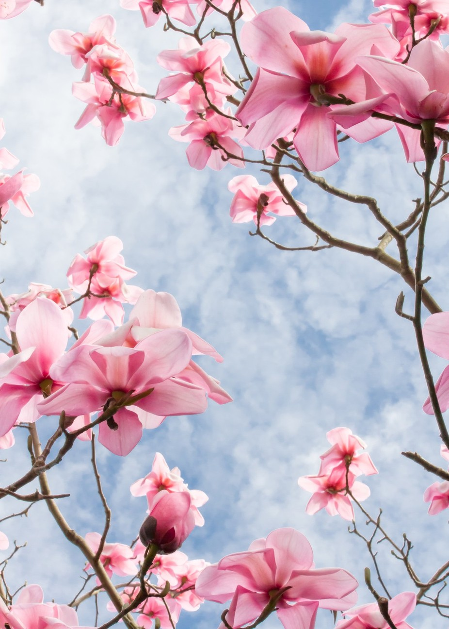 Magnolia Sky by Weglet - Pink Photo Contest