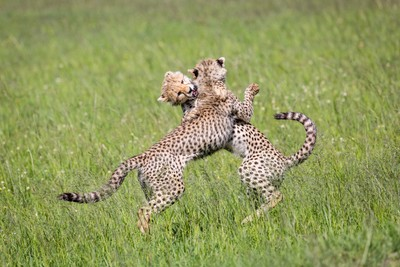 Playful Cheetahs - Masai Mara