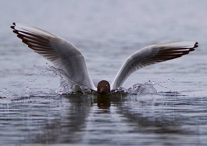 Splash Landing by ianwaite_8878 - Wildlife And Water Photo Contest