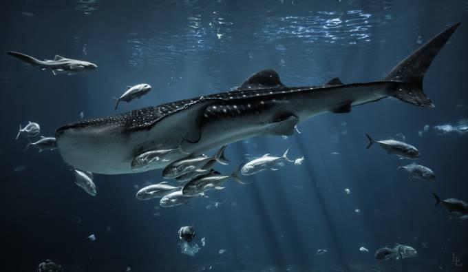 Whale Shark by lancebylancelowrie - Large Photo Contest