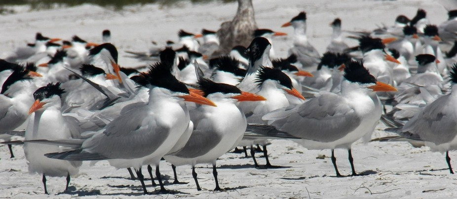 Royal Terns on Anna Maria Island