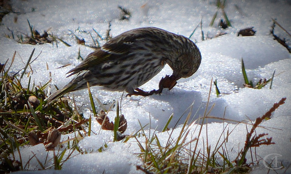 These tiny birds were feeding on Cedar pods in front of the house. This one is a Pine Siskin and ...