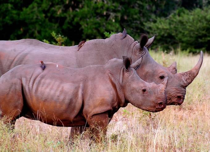 Rhinos by sallybryancullen - Big Mammals Photo Contest
