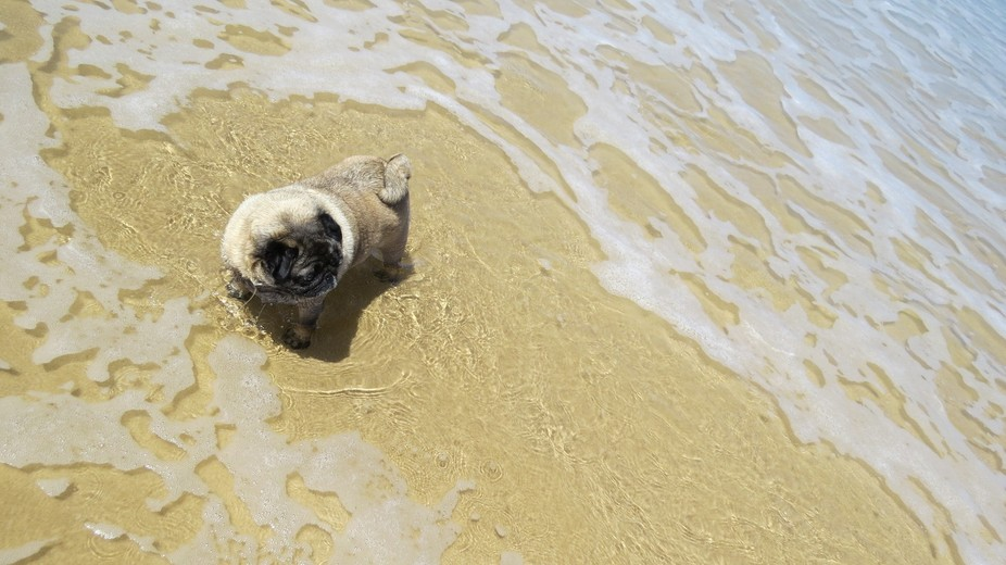 Pug at the Beach