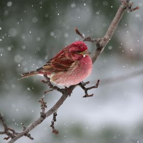 A purple finch (Haemorhous purpureus) in my backyard during the recent snowfall (April 6)