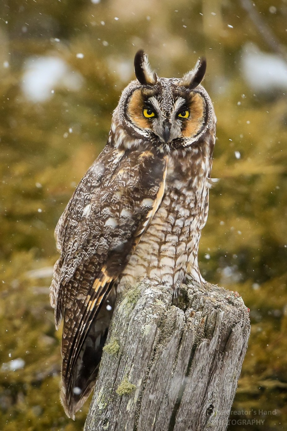 Long-eared Owl-4074G by CreatorsHand - My Best Shot Photo Contest Vol 3