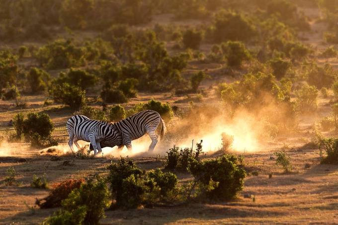 Zebras by heinrichmeyer - Bright And Colorful Photo Contest