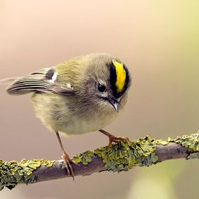 Perched Goldcrest