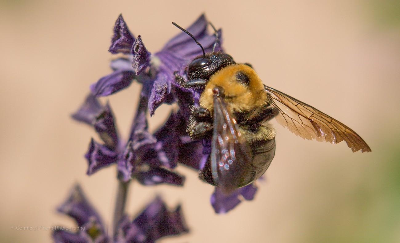 Bumble bee on purple flower