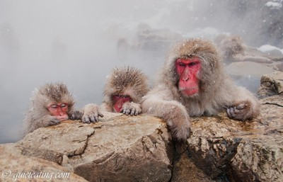Snow monkeys sulking