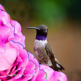 "We just got our first hummingbird of the season today - a blackchin, as always.  I LOVE hummingbirds and was so excited to see him.  A ""pain..."