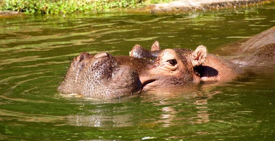 Hippo Afternoon Swim