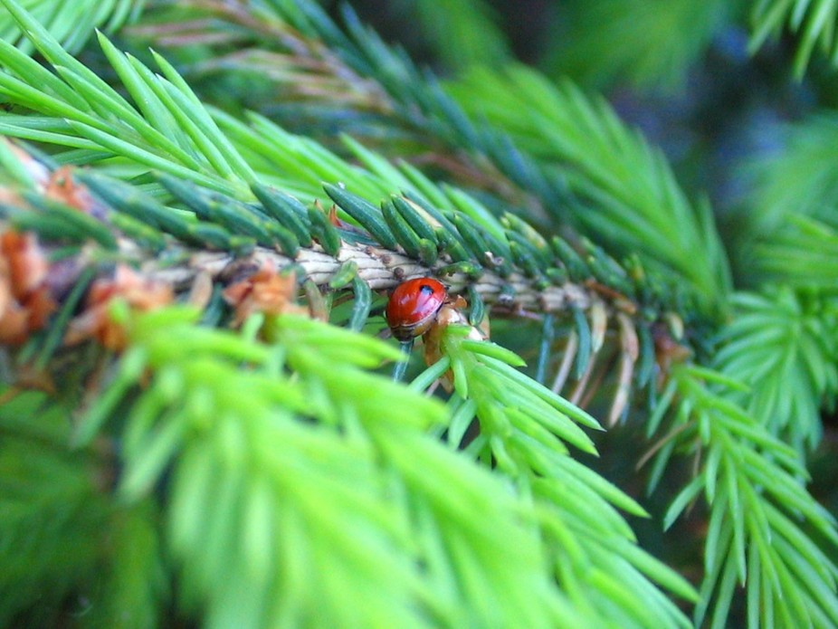 Ladybird on Pine.