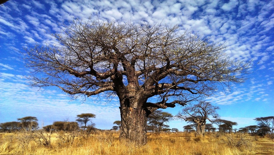 A baobab tree coming into blossom in Ruaha National Park, Tanzania.