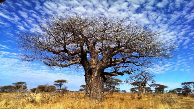 Baobab Tree by MythicHippo - Blue Skies Photo Contest
