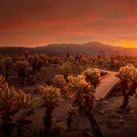 This was taken during sunrise in the Cholla Cactus Garden at Joshua Tree National Park. We got up every morning to watch the light show mother na...