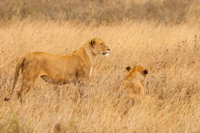 lions2 by jaybirmingham - Can You See Me Photo Contest