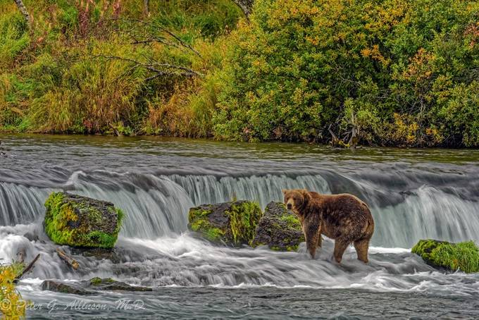 Brown bear by the falls by peterallinson - Alaska The Wild Photo Contest