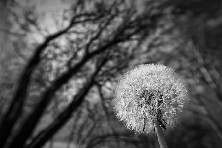 ©dragomirphotographs_Dandelion