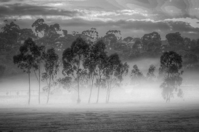 Eucalypts In The Mist