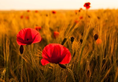 Poppies in the barley