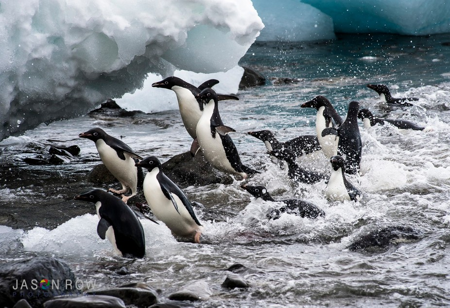 Adelie Penguins fly out of the cold waters of Hope Bay Antarctica