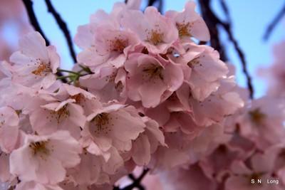 DC Blossoms