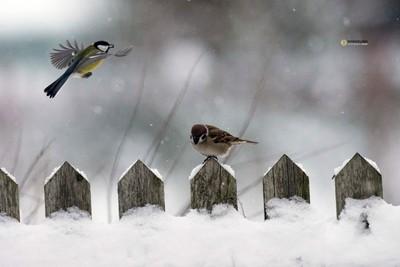 Great Tit & Tree Sparrow fence snow