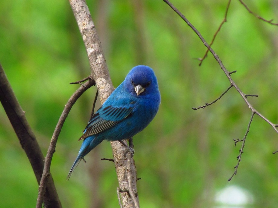 This is the first time i have ever seen blue buntings in Louisiana.   Insigo Blue Bunting, myeyes...