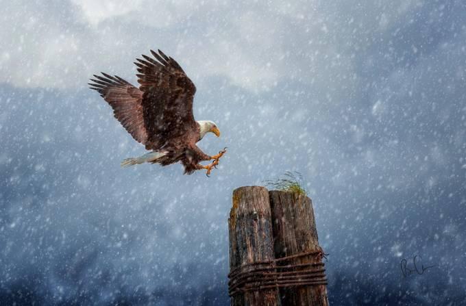 EAGLE In The Snow by brianadamson - Majestic Eagles Photo Contest