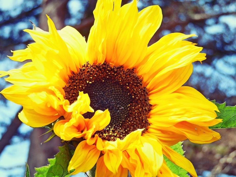 A sunflower at the central coast