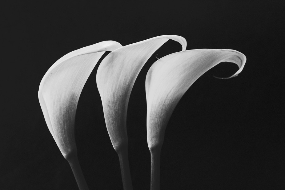 Simple lilies in black and white.