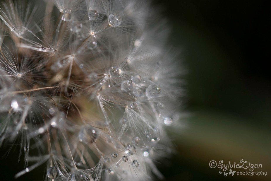 Dew drops on a dandelion with a canon 100mm f2.8 lens. No crop. No post processing.