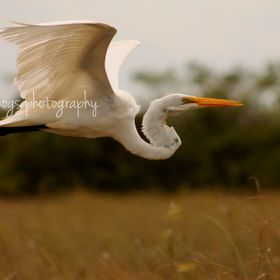 The Great White Heron takes flight after it has had enough of the tourists