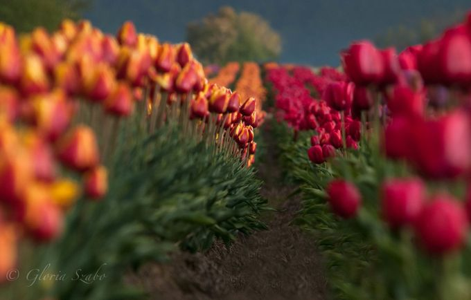 Tulip Festival by gszabo - Clever Angles Photo Contest