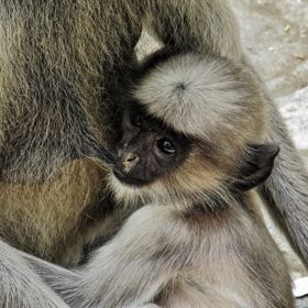 Baby Hanuman Langur is feeding on its mother's milk. Due to telephoto lens baby's inocent face clearly captured.