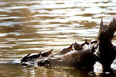 Turtle traffic jam