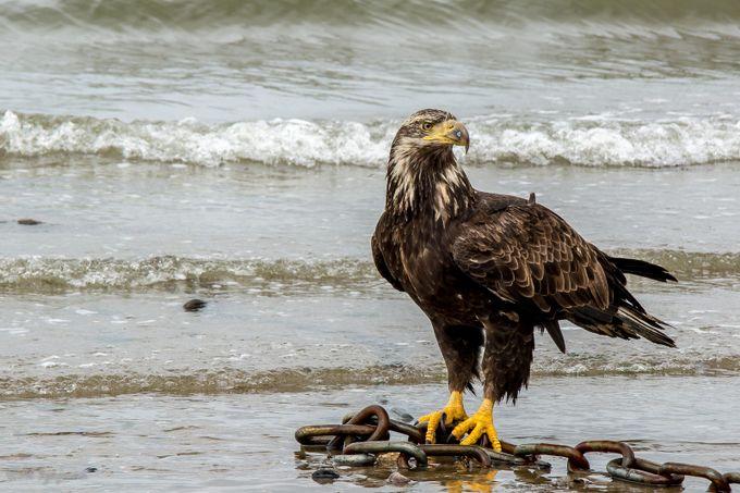 Beachcomber by alszajman - Majestic Eagles Photo Contest