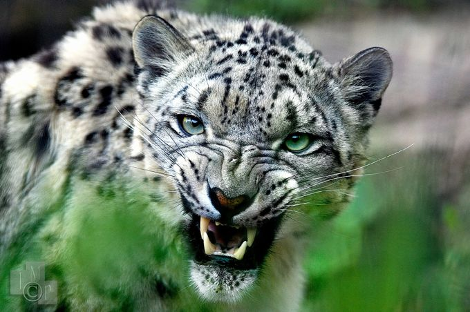Snow Leopard by James_Markus - Happening At The Zoo Photo Contest