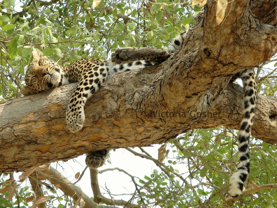 Young leopard resting up tree in Savuti - Botswana, after fishing for catfish.