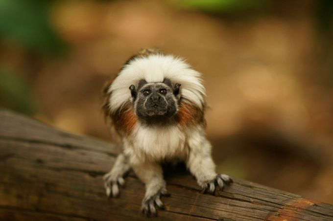 Tamarin by Kim-mareeJenke - Monkeys And Apes Photo Contest
