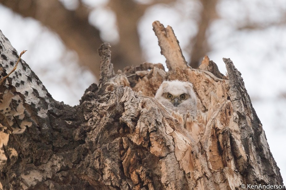 Great Horned Owlet looking out at the world