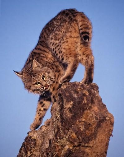 bobcat-rock
